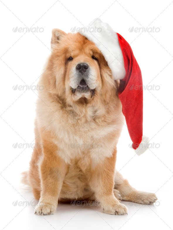 Chow-Chow In A Red Santa Claus Hat