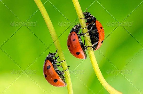 PhotoDune Ladybug