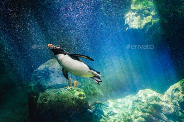 Penguin hunting for fish underwater